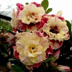 "Sementes de Rosa-Do-Deserto ""Lemon pink"" 1.9 - 1"