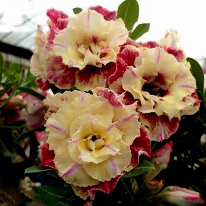 """Semi di Rosa del Deserto """"Lemon pink"""" 1.9 - 1"""