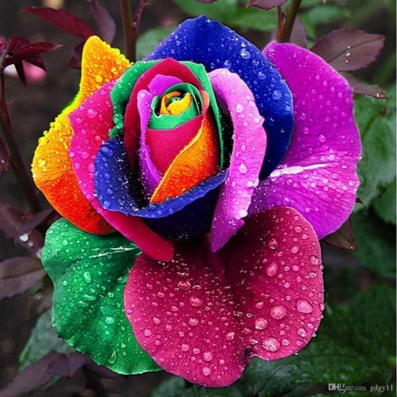 Rainbow Rosen Samen 2.5 - 4