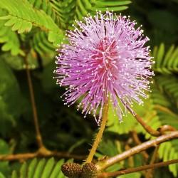 Stidljiva Mimoza Seme (Mimosa pudica) 1.35 - 2