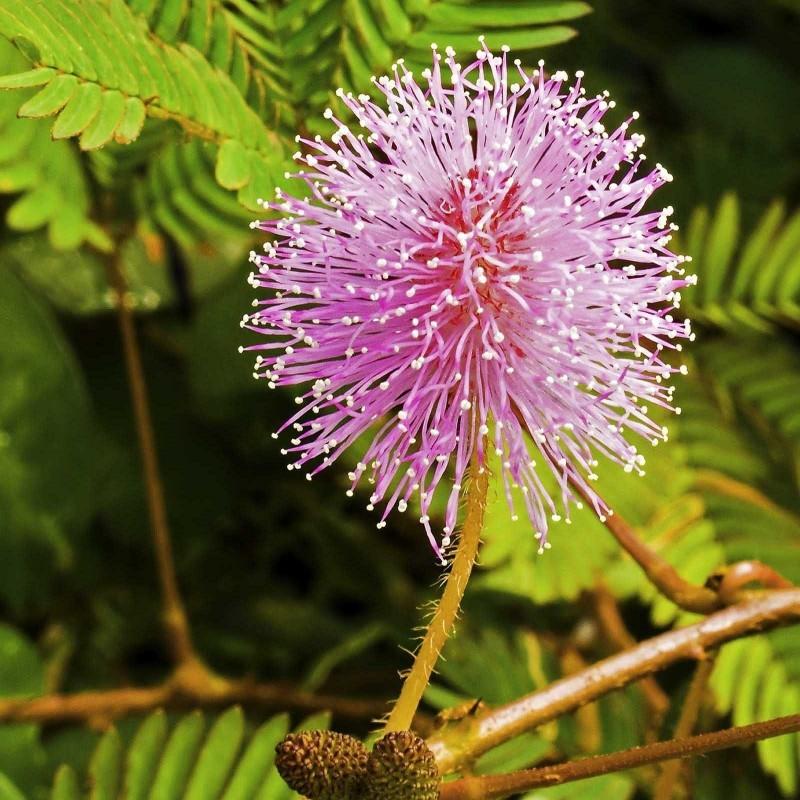 Graines de Mimosa pudique ou Sensitive 1.35 - 2