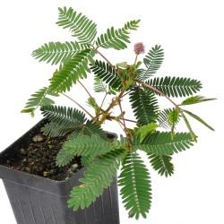 Μιμόζα λατ. (Mimoza pudica) 1.35 - 1