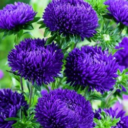 Chinese Aster Blue 1.95 - 4