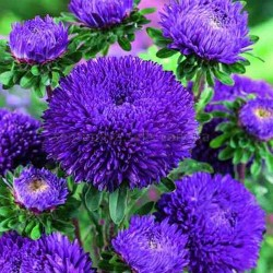 Chinese Aster Blue 1.95 - 3