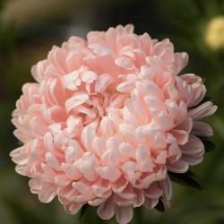 Σπόροι Άστερ ροζ 1.95 - 2