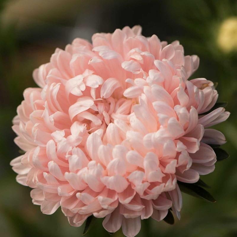 Sementes de Áster o rosa 1.95 - 2