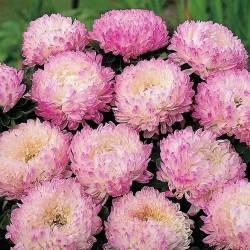 Sementes de Áster o rosa 1.95 - 1