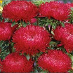 Σπόροι Άστερ κόκκινος 1.95 - 3