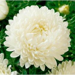 Sementes de Áster branco 1.95 - 2