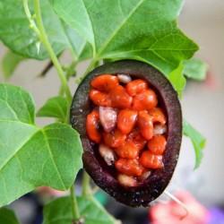Maulbeerblättrige Passionsblume Samen 1.7 - 14