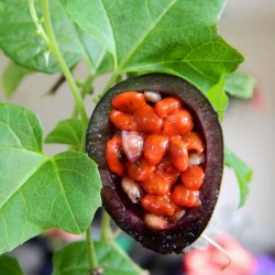Sementes de Passiflora morifolia 1.7 - 14