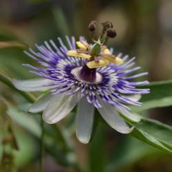 Sementes de Passiflora morifolia 1.7 - 1