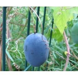 Sementes de Passiflora morifolia 1.7 - 3