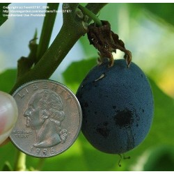 Blue Sweet Calabash Seeds (Passiflora morifolia) 1.7 - 5