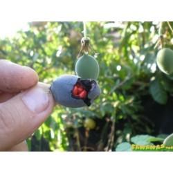 Hristov Venac Seme Passiflora morifolia 1.7 - 9
