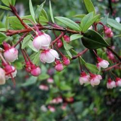 Sementes De Ugni Molinae - Chilean Cranberry 2.8 - 1