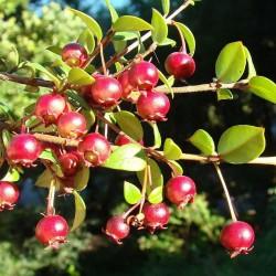 Cile Guava - Ugniberry Seme (Ugni molinae) 2.8 - 2