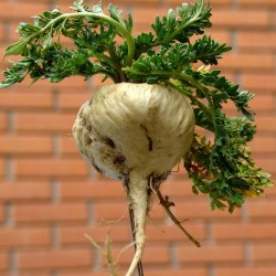 Maca Samen (Lepidium meyenii) 2.2 - 2