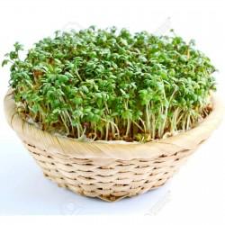 Gartenkresse Samen (Lepidium sativum) 1.45 - 2
