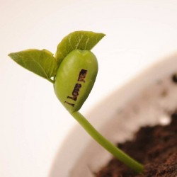 Magic Growing Message Beans Seeds 1.55 - 3