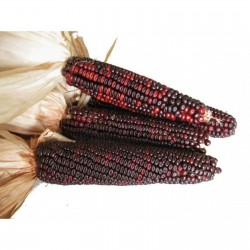 Bloody Butcher Sweetcorn Seeds 1.95 - 3