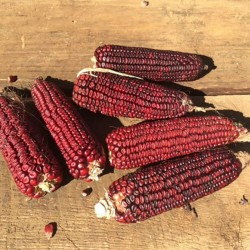 Bloody Butcher Sweetcorn Seeds 1.95 - 4