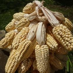 Sementes de Milho Gigante Peruano Chullpi - Cancha 2.45 - 1