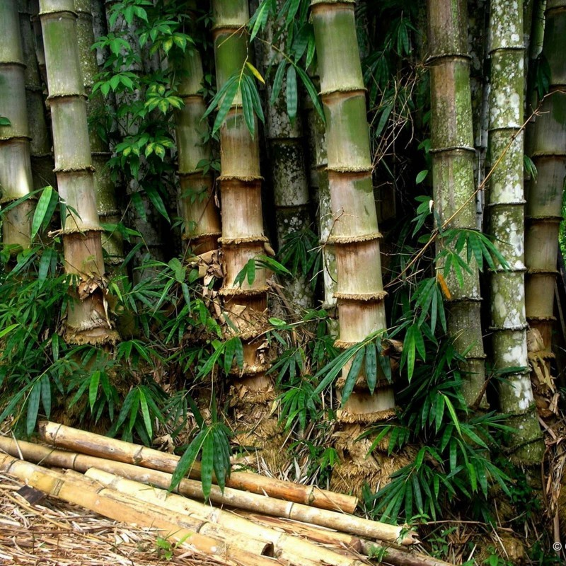 Sementes de Bambu Ferro (Dendrocalamus strictus) 4 - 4