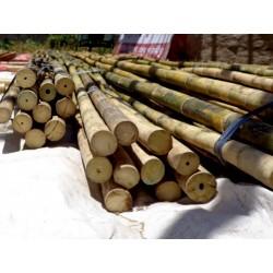 Sementes de Bambu Ferro (Dendrocalamus strictus) 4 - 2
