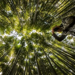 Sementes de Bambu Ferro (Dendrocalamus strictus) 4 - 3