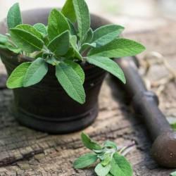 Sementes de Salvia, Salva 1.95 - 3