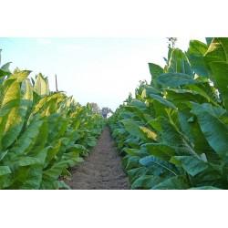 Sementes de Tabaco Virginia Gold 1.75 - 3