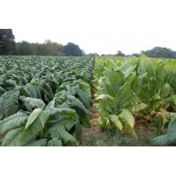 Sementes Burley Tobaco cacau como aroma 1.95 - 3