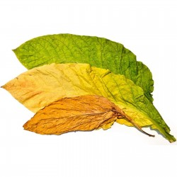 Semi di tabacco Samsoun Orient 1.75 - 1