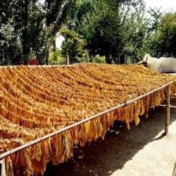 Sementes de Tabaco Samsoun Orient 1.75 - 2