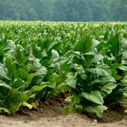Semi di tabacco Adonis 2.45 - 2