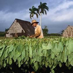 Semi di tabacco Adonis 2.45 - 1