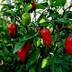 Habanero Madame Jeanette Red Seeds 2 - 2