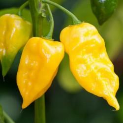 Σπόροι Τσίλι - πιπέρι Habanero Χοτ Λεμόνι 1.95 - 3