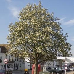 Graines Sorbus intermedia, aussi appelé Alisier de Suède 2.25 - 1