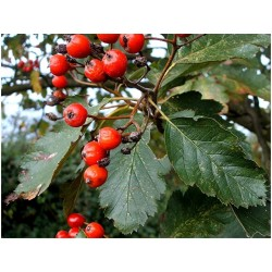 Graines Sorbus intermedia, aussi appelé Alisier de Suède 2.25 - 2