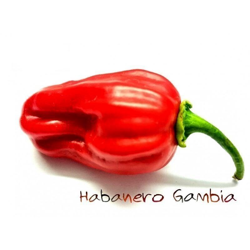 Gambia Habanero Rot Chili Samen Riesige Früchte 2 - 7