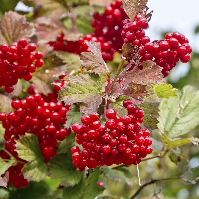 Σπόροι American Cranberry θάμνων (Viburnum trilobum) 1.95 - 1