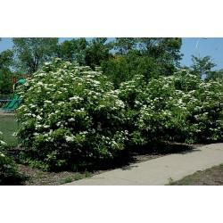 Sementes De Cerejas Americanas (Viburnum trilobum) 1.95 - 4