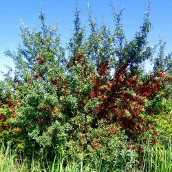 Sementes Da Fruta Russet Buffaloberry 2.75 - 2
