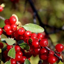 Sementes Da Fruta Russet Buffaloberry 2.75 - 3