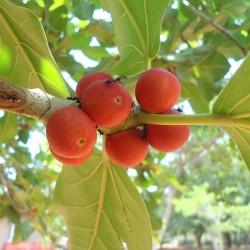 Bengalska Sljiva Seme 1.5 - 2