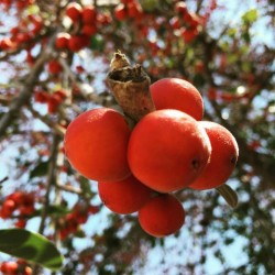 Bengalische Feige Samen 1.5 - 7