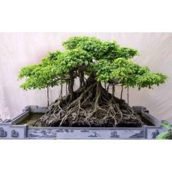 Banjan (träd) Frön 1.5 - 3