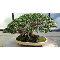 Σπόροι Ficus benghalensis δέντρο 1.5 - 5